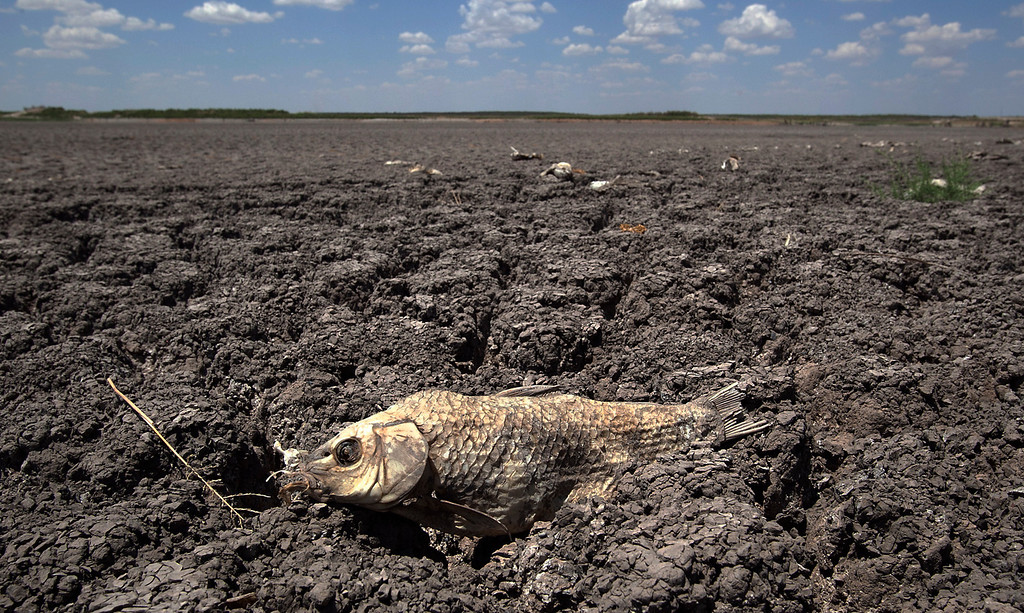 Description of . In this Aug. 3, 2011 file photo, the remains of a carp is seen on the lake dried out lake bed of O.C. Fisher Lake in San Angelo, Texas.    (AP Photo/Tony Gutierrez)