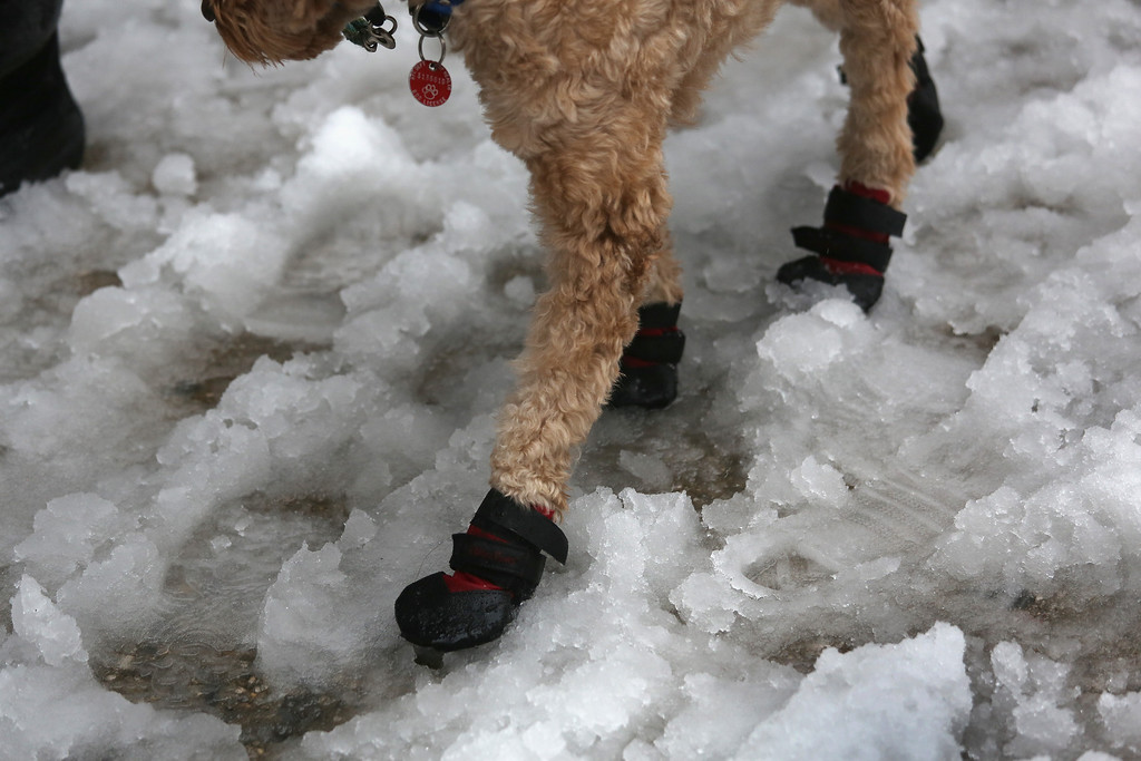 Description of . A dog navigates a slushy intersection near Union Square on February 5, 2014 in New York City, United States.  (Photo by John Moore/Getty Images)