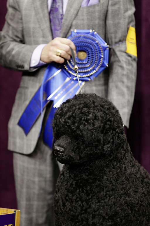 Description of . Matisse, a Portuguese water dog and winner of the working group, is shown during the 137th Westminster Kennel Club dog show, Tuesday, Feb. 12, 2013, at Madison Square Garden in New York. (AP Photo/Frank Franklin II)
