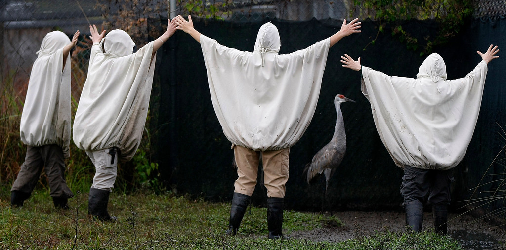 Description of . In this Nov. 27, 2012 file photo, aviculturists at the Audubon Species Survival Center in New Orleans, wearing crane costumes, round up four endangered Mississippi sandhill cranes and transport them from their current habitat, to the Mississippi Sandhill Crane National Wildlife Refuge in Gautier, Miss. (AP Photo/Gerald Herbert, File)