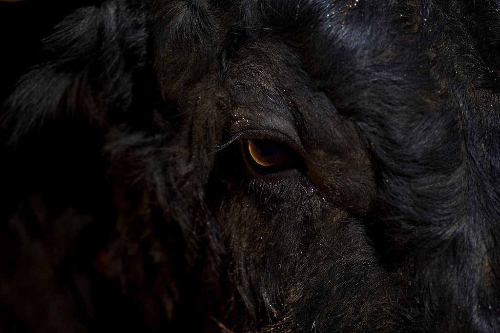 Description of . In this March 4, 2012 photo, a tear falls from the eye of a bull during a bullfight in the southwestern Spanish town of Olivenza. This photo is one in a series of images by Associated Press photographer Daniel Ochoa de Olza that won the second place prize for the Observed Portrait series category in the World Press Photo 2013 photo contest.  (AP Photo/Daniel Ochoa de Olza, File)