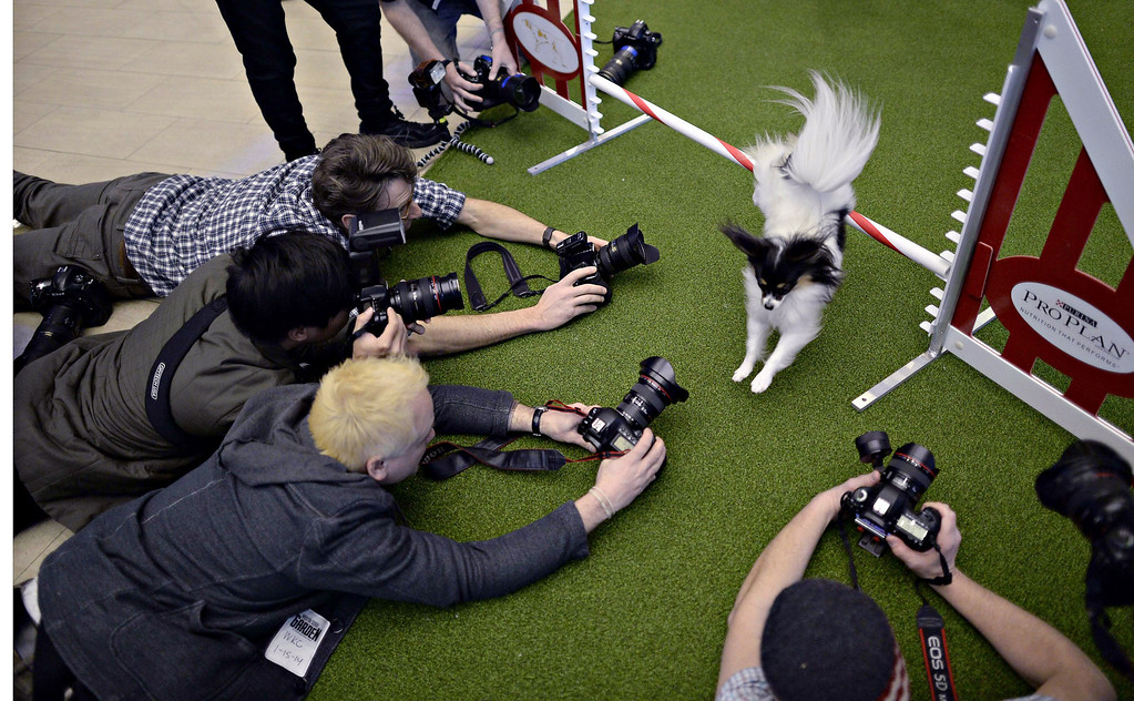 Description of . A Papillon jumps a hurdle during a press event at Madison Square Garden  January 15, 2014 to  promote the First-ever Masters Agility Championship at the 138th Annual Westminster Kennel Club Dog Show.    TIMOTHY CLARY/AFP/Getty Images