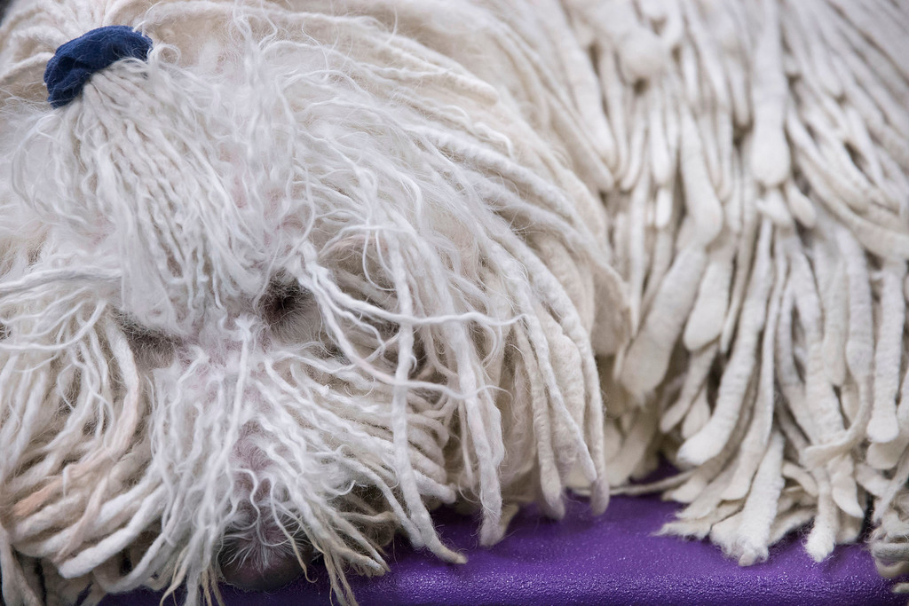 Description of . Chauncey, a komondor, rests in the benching area before the Westminster Kennel Club dog show, Tuesday, Feb. 11, 2014, in New York. (AP Photo/John Minchillo)