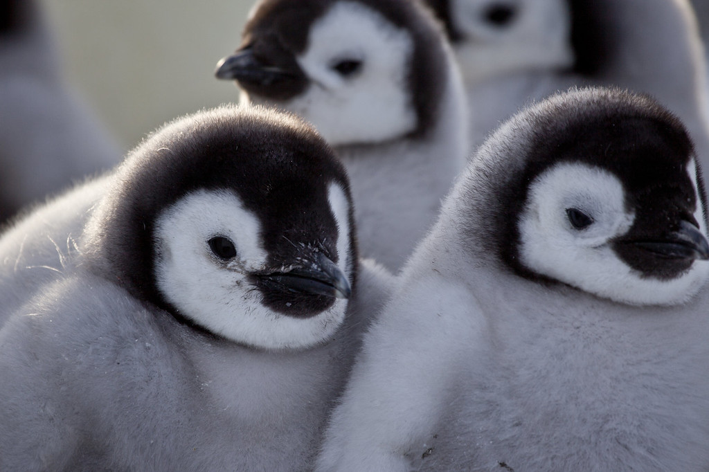 "Description of . Chicks in huddle.  Antarctica. ""Penguins: Waddle All the Way,"" premiers Nov. 23 on Discovery. Jane Lynch narrates this two-hour special, a Discovery/BBC co-production from award-winning filmmaker John Downer. (Photo by Frederique Olivier/JDP World All Media)"