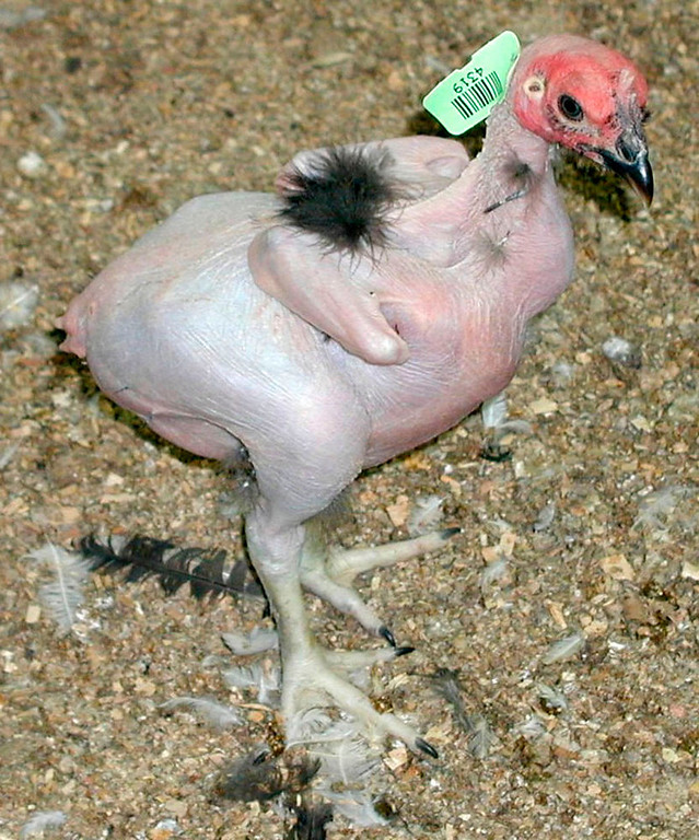 """. A featherless chicken is seen in this undated handout photo from the Hebrew University School of Agriculture in Rehovot. Israeli researcher Avigdor Cahaner is breeding a fowl that will stay cool in the Middle East and other hot regions. The school has several dozen of the new chickens, a crossbreed between normal chickens and birds already balding because of a naturally-occuring \""""naked neck\"""" gene.  (AP Photo/HO/Hebrew University)"""