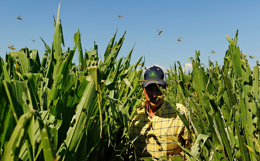 Description of . Farmer Harry Strohauer walks in one of his corn fields near Lasalle on Thursday, July 19, 2012. Thousands of grasshoppers have destroyed the field during the current drought conditions. RJ Sangosti, The Denver Post