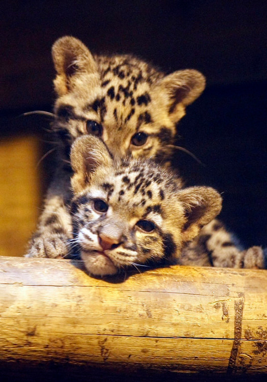 Description of . Southeast Asian clouded leopards, (Neofelis Nebulosa) are seen at Jardin des Plantes Zoological in Paris, Thursday, July 22, 2010. The two female cubs, named Pati and Jaya, born on May 14, 2010,  recently made their first appearance in public . (AP Photo/Francois Mori)