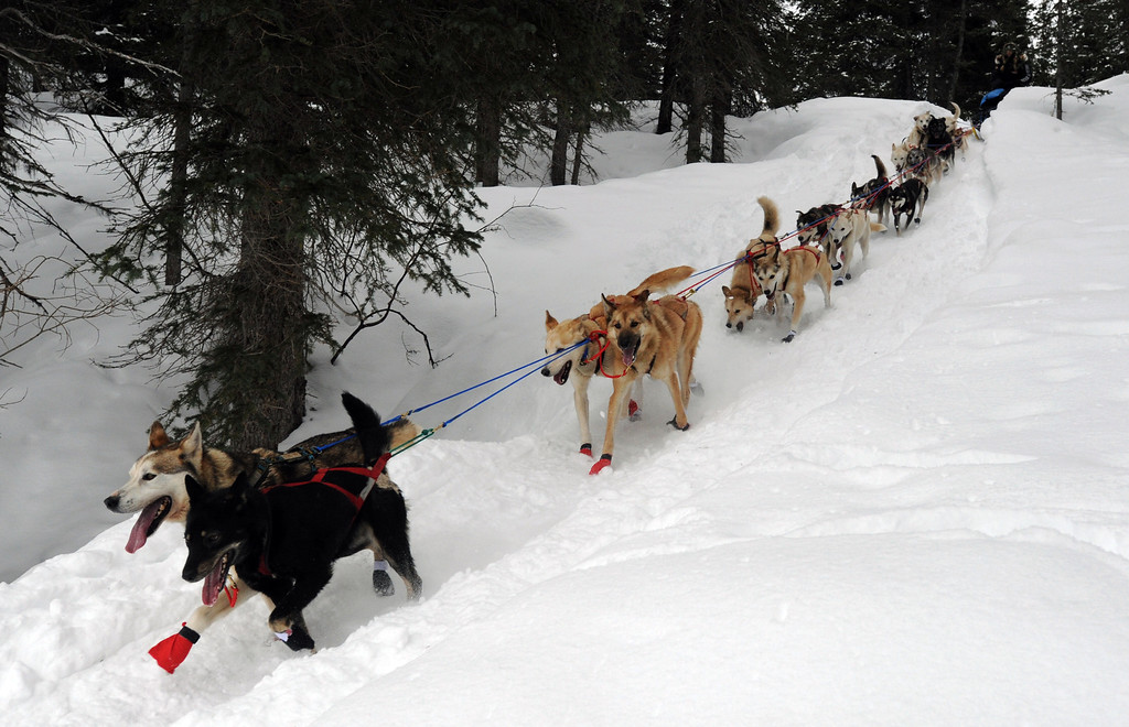 Description of . Kristy Berington's team descends a steep section of trail outside the Finger Lake checkpoint in Alaska during the Iditarod Trail Sled Dog Race on Monday, Mar. 4, 2013. (AP Photo/The Anchorage Daily News, Bill Roth)