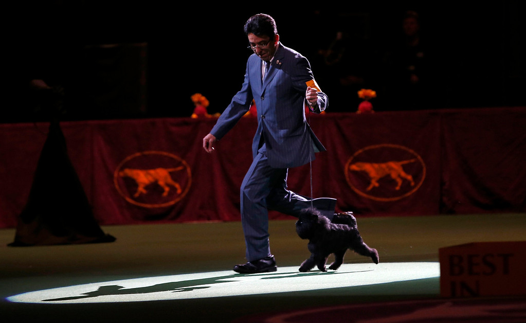 . Handler Ernesto Lara runs with Banana Joe, an Affenpinscher, who won the Best in Show at the 137th Westminster Kennel Club Dog Show at Madison Square Garden in New York, February 12, 2013.   REUTERS/Mike Segar
