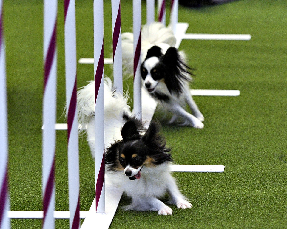 Description of . Two Papillons run an obstacle course during a press event at Madison Square Garden  January 15, 2014 to  promote the First-ever Masters Agility Championship at the 138th Annual Westminster Kennel Club Dog Show. Dogs entered in the Agility trial were on hand to demonstrate skills required to negotiate some of the challenging obstacles that they will need to negotiate during the competition.    TIMOTHY CLARY/AFP/Getty Images
