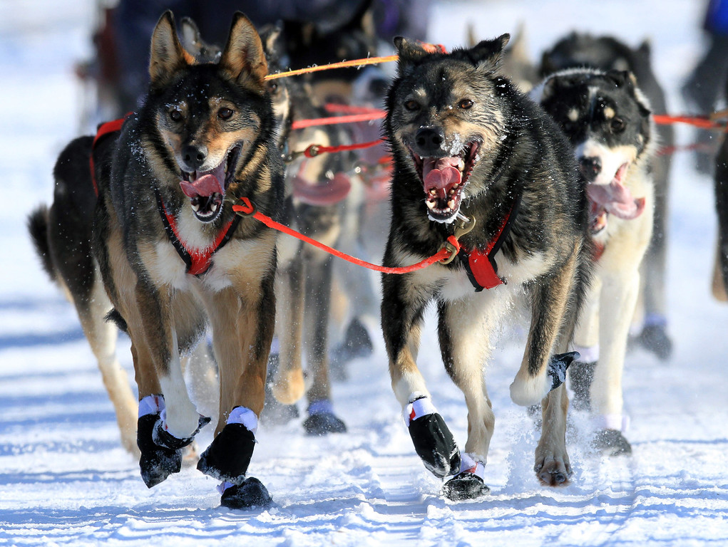 Description of . Lead dogs on the team of Louie Ambrose run during the ceremonial start of the Iditarod Trail Sled Dog Race Saturday, March 2, 2013, in Anchorage, Alaska. The competitive portion of the 1,000-mile race is scheduled to begin Sunday in Willow, Alaska. (AP Photo/Dan Joling)