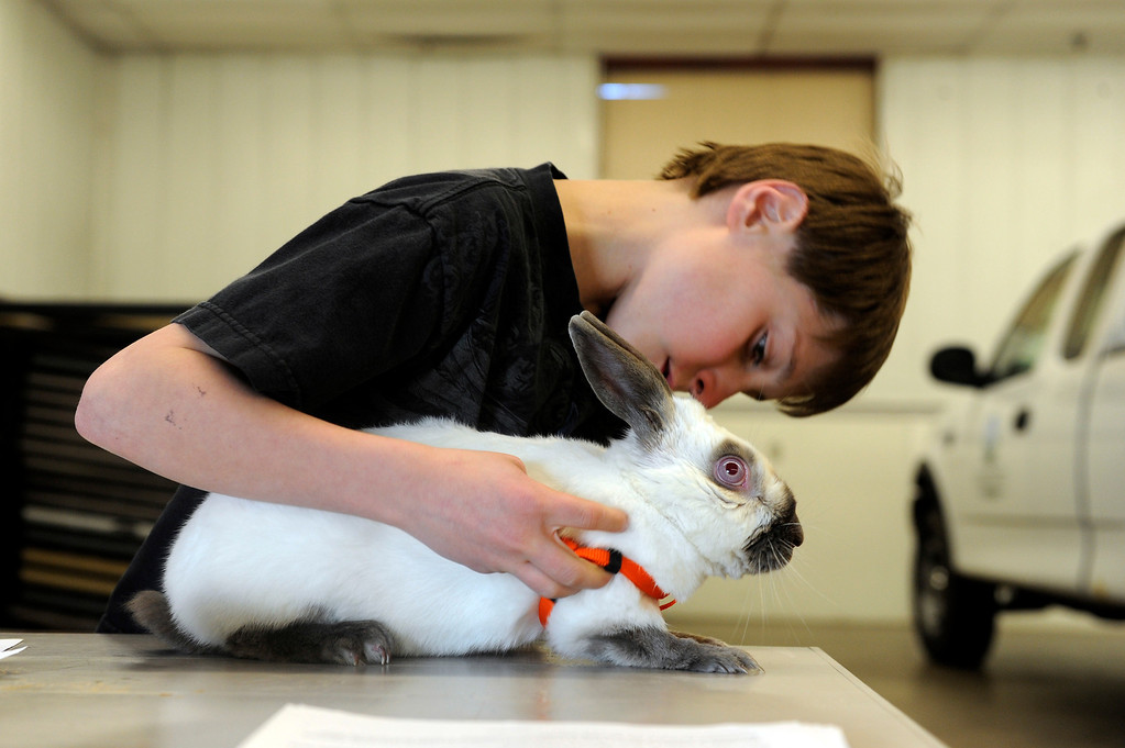 Description of . BRIGHTON, CO - MARCH 25: Dylan Christensen, 11, puts a harness onto his rabbit Zeus at the Adams County Fairgrounds Event Center on March 25, 2014, in Brighton, Colorado. Christensen is part of the Adams County Rabbit Hopping group, which is made up of eleven youngsters who participate in 4-H projects through Adams County. They are training for the Adams County Fair which will take place at the end of July. (Photo by Anya Semenoff/The Denver Post)