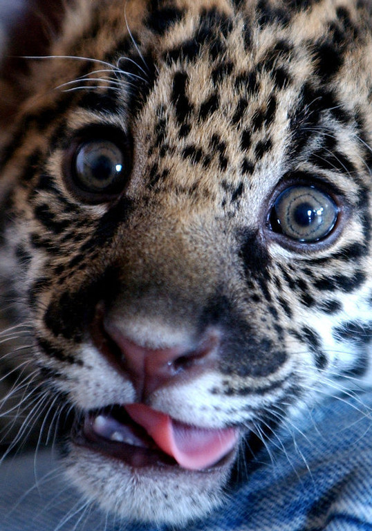 Description of . Baby jaguar Spotti is seen at the Attica Zoological Park east of Athens. The jaguar, weighed 4.5 kilograms (9.9 pounds) at the time of the photo, was born at a zoo in Germany. (AP Photo/Thanassis Stavrakis)