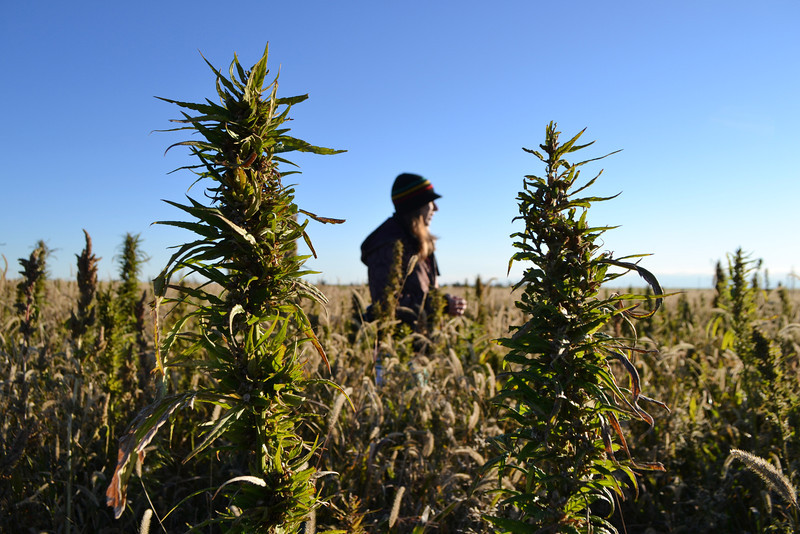 colorado-hemp-harvest-002.JPG