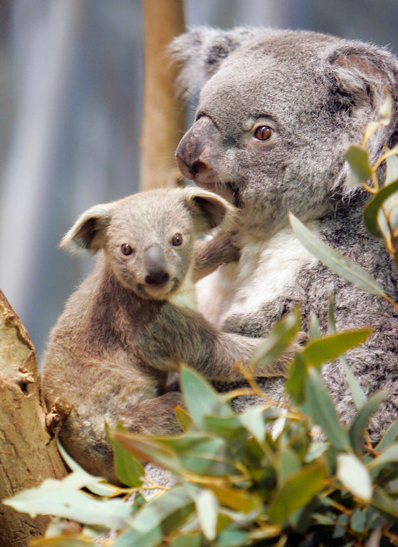 Description of . A seven month old baby Koala clings to his mother, Colliet, at the Cleveland Metroparks Zoo  in Cleveland. (AP Photo/Mark Duncan)