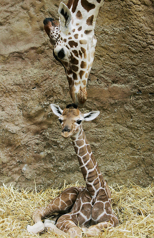 Description of . Giraffe mother Malindi caresses her daughter at Duisburg zoo. Visitors were asked to make suggestions for a name for the youngster. (AP Photo/Frank Augstein)