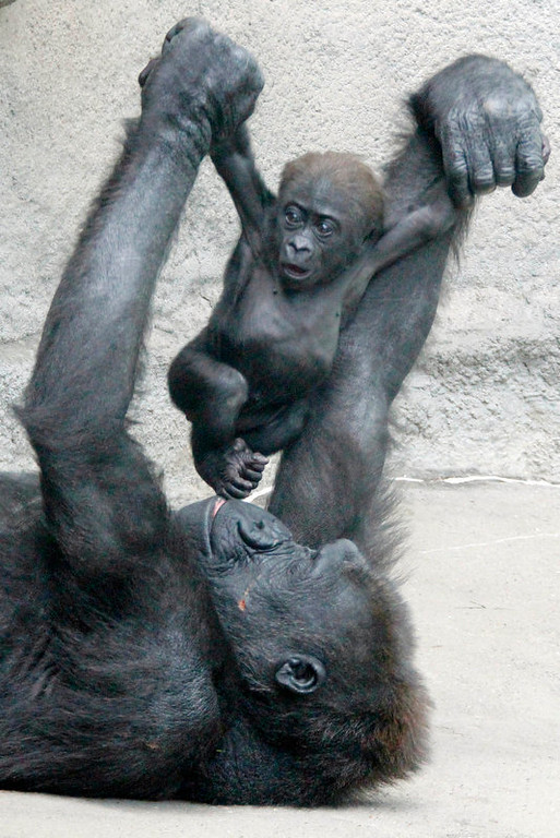 Description of . Moka, an endangered western lowland Gorilla, plays with her unnamed 3-month-old baby at the Pittsburgh Zoo and Aquarium in Pittsburgh, Wednesday, May 2, 2012. (AP Photo/Gene J. Puskar)