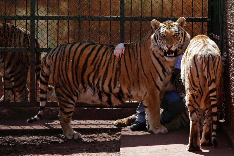 tiger-family-brazil-005.JPG