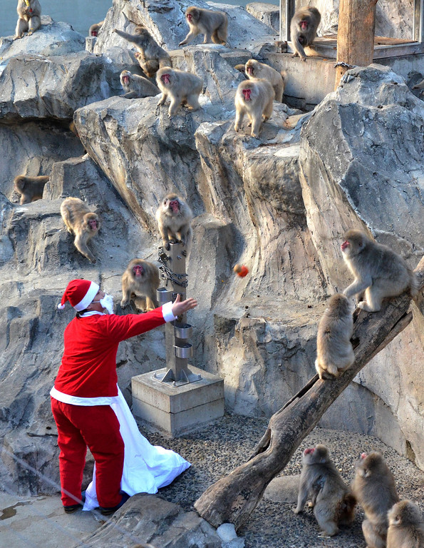 Description of . A zookeeper wearing a Santa Claus costume feeds fruit and vegetables to Japanese macaques at Tokyo's Ueno Zoo on December 24, 2013.  The event was part of an annual 'Christmas gifts' attraction.   YOSHIKAZU TSUNO/AFP/Getty Images