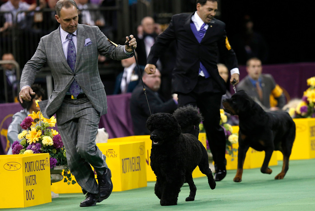 Description of . Matisse (L), a Portuguese Water dog, runs with a handler during competition in the Working Group at the 137th Westminster Kennel Club Dog Show at Madison Square Garden in New York, February 12, 2013. Matisse won the Working Group and advances to the Best in Show competition. REUTERS/Mike Segar