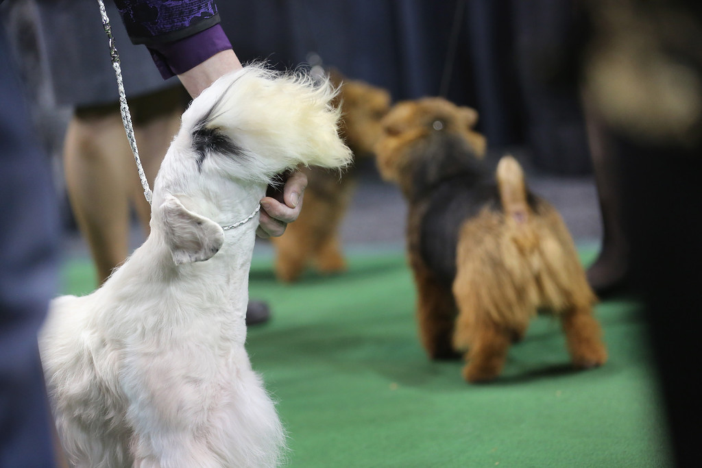 Description of . NEW YORK, NY - FEBRUARY 12:  Terriers prepare to compete at the 137th Westminster Kennel Club Dog Show on February 12, 2013 in New York City. Best of breed dogs competed for Best in Show at Madison Square Garden Tuesday night. A total of 2,721 dogs from 187 breeds and varieties competed in the event, hailed by organizers as the second oldest sporting competition in America, after the Kentucky Derby.  (Photo by John Moore/Getty Images)