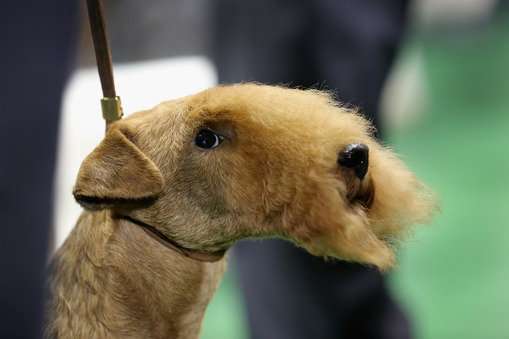 . NEW YORK, NY - FEBRUARY 12:  A terrier prepares to compete at the 137th Westminster Kennel Club Dog Show on February 12, 2013 in New York City. Best of breed dogs competed for Best in Show at Madison Square Garden Tuesday night. A total of 2,721 dogs from 187 breeds and varieties competed in the event, hailed by organizers as the second oldest sporting competition in America, after the Kentucky Derby.  (Photo by John Moore/Getty Images)