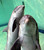 Baby bottlenose dolphin Doerte and her mother Delphi swim through their basin at the zoo in Duisburg, western Germany. Doerte, almost two months old, was still fed milk by her mother.    (ROLAND WEIHRAUCH/AFP/Getty Images)