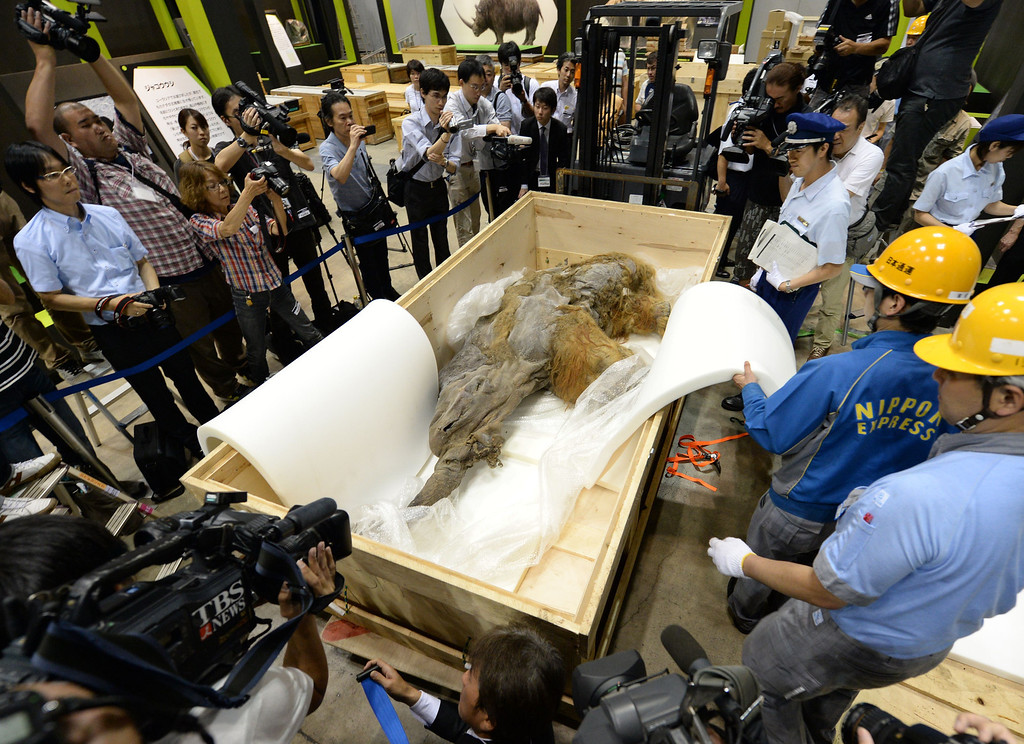 Description of . A 39,000-year-old female baby woolly mammoth named Yuka from the Siberian permafrost is unveiled for the media at an exhibition in Yokohama, suburban Tokyo on July 9, 2013. The frozen woolly mammoth will be exhibited from July 13 until September 16. KAZUHIRO NOGI/AFP/Getty Images