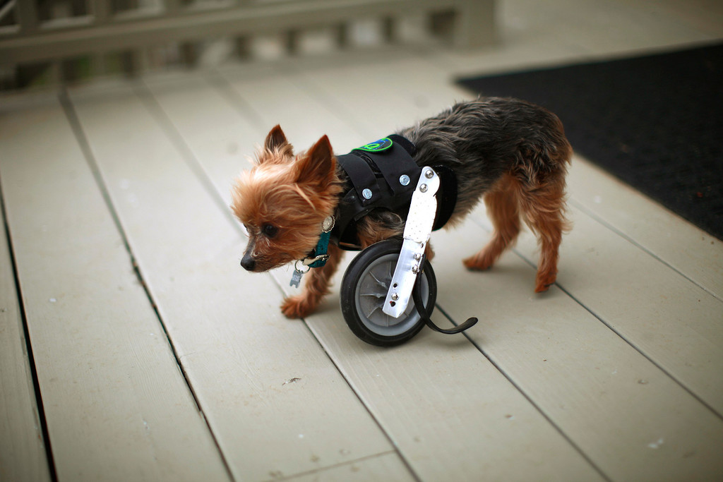 . A Yorkshire Terrier named Hope shows off her uni-wheel attached to a doggie vest in Longmont, Colorado April 21, 2013. Hope is missing one limb and is able to walk with the wheel attachment.  Picture taken April 21, 2013.   REUTERS/Rick Wilking
