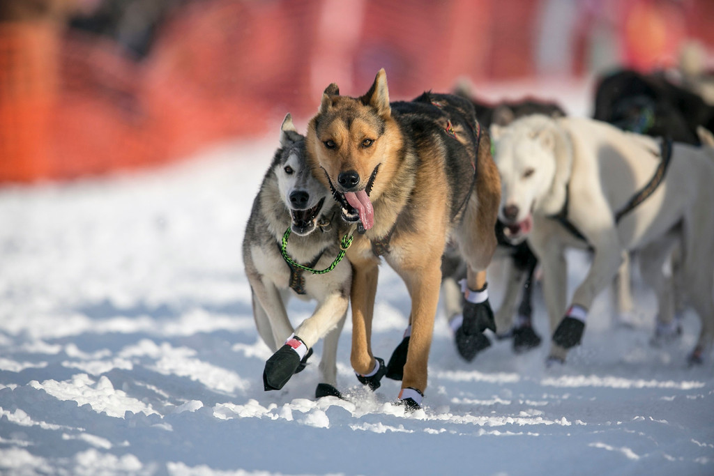 Description of . The lead dogs of Cindy Gallea charge down the trail at the re-start of the Iditarod dog sled race in Willow, Alaska March 3, 2013. From Willow, the race runs for almost 1000 miles as it crosses the state.  REUTERS/Nathaniel Wilder