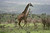 A group of Giraffe gallop near Ngorongoro Crater Conservation area in Tanzania, Africa.