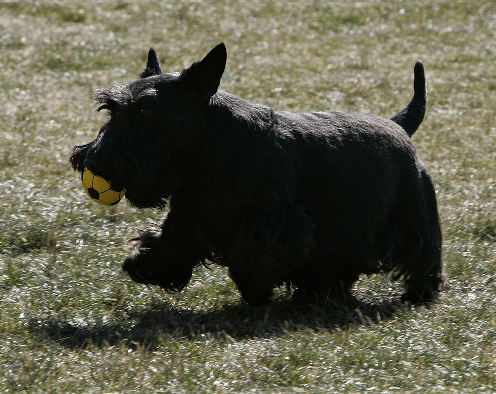 Description of . President Bush's dog Barney frolics on the South Lawn of the White House in Washington, Tuesday, Feb. 6, 2007, as he waits for the president's return from a trip to Virginia. (AP Photo/Ron Edmonds)