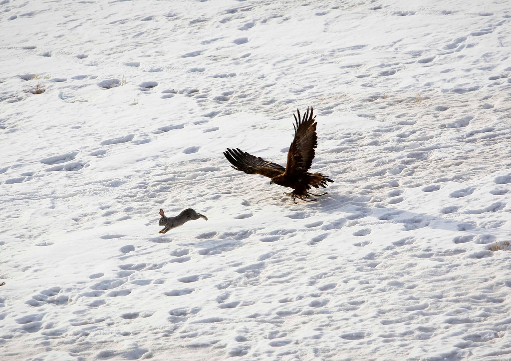 Description of . A tamed golden eagle chases a rabbit during an annual hunting competition in Chengelsy Gorge, some 150 km (93 miles) east of Almaty February 23, 2013.  REUTERS/Shamil Zhumatov