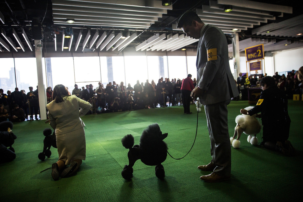 . Miniature poodles compete in the 138th annual Westminster Dog Show at the Piers 92/94 on February 10, 2014 in New York City. The annual dog show showcases the best dogs from around world for the next two days in New York.  (Photo by Andrew Burton/Getty Images)