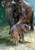A nine-day-old baby elephant sticks with his eighteen-year-old mother Tini at the Safari Park in Gianyar, on the Indonesian resort island of Bali.  The male Sumatran elephant baby, the 31st at the park, was the first baby elephant born on Bali island.   (SONNY TUMBELAKA/AFP/Getty Images)