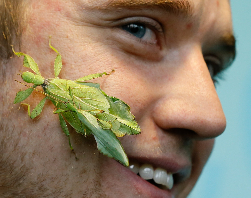 Description of . Keeper Jeff Lambert smiles as two leaf insects get close during a photo call for the annual stock take at London Zoo, Thursday, Jan. 3, 2013. More than 17,500 animals including birds, fish, mammals, reptiles and amphibians are counted in the annual stock take at the zoo. (AP Photo/Kirsty Wigglesworth)