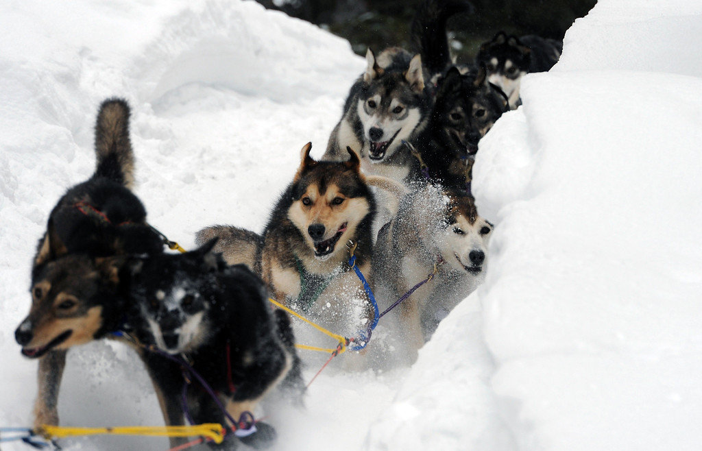 Description of . Sled dogs in Anna Berington's team negotiate a steep drop off in the trail as they depart the Finger Lake checkpoint in Alaska during the Iditarod Trail Sled Dog Race on Monday, March 4, 2013. (AP Photo/The Anchorage Daily News, Bill Roth)