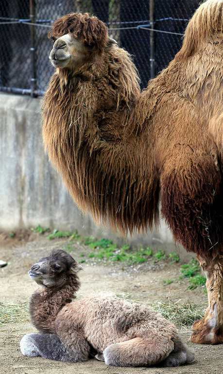 . Saarai, the Cincinnati Zoo & Botanical Gardenís 3-year-old Bactrian camel, stands over her calf on Thursday, April 26, 2012. Saarai gave birth to her first calf, a male, on Monday, April 23, 2012. It is the first camel been born at the zoo since 1983. The Zoo is asking for help in naming the baby. Keepers have selected their top three choices- Henry, Lyn and Cain- and the public can vote for their favorite, among the three, online at www.cincinnatizoo.org through Monday, April 30. The winning name will be announced on Tuesday, May 1.    (AP Photo/The Enquirer, Cara Owsley)