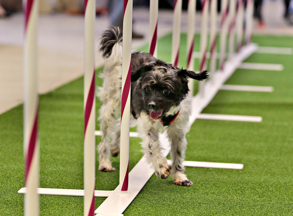 Description of . Alfie, a mixed breed, demonstrates his mastery of an agility test during a news conference in New York, Wednesday, Jan. 15, 2014. For the first time ever, the Westminster Dog Show will include an agility competition, open to mixed breeds as well as purebred dogs.  (AP Photo/Seth Wenig)