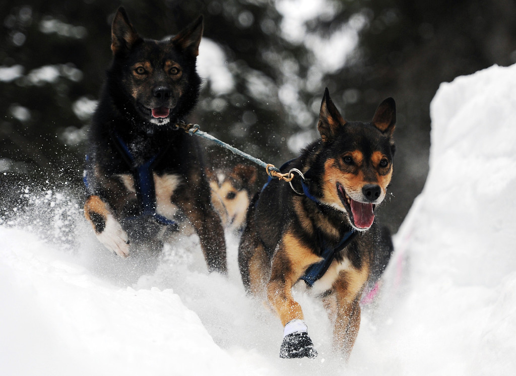 Description of . Leaders in Jessica Hendricks's dog team negotiate a steep drop off in the trail after leaving the Finger Lake checkpoint in Alaska during the Iditarod Trail Sled Dog Race on Monday, March 4, 2013. (AP Photo/The Anchorage Daily News, Bill Roth)