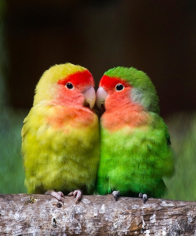 . A couple of lovebirds (Agapornis Roseicollis) are pictured at the aviary El Nido, on September 23, 2011, in Ixtapaluca, State of Mexico, near Mexico City. The aviary El Nido is the third largest in the world, with more than 320 species of birds and more than 3000 specimens in their facilities. At El Nido they are working on the reproduction of endangered species. AFP PHOTO/RONALDO SCHEMIDT