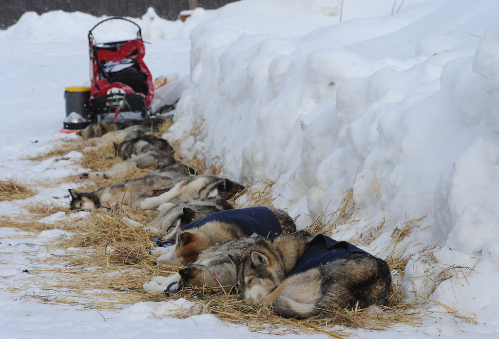 Description of . Iditarod sled dogs from Mike Ellis rest at the McGrath checkpoint on Wednesday, Mar. 6, 2013. (AP Photo/The Anchorage Daily News, Bill Roth)