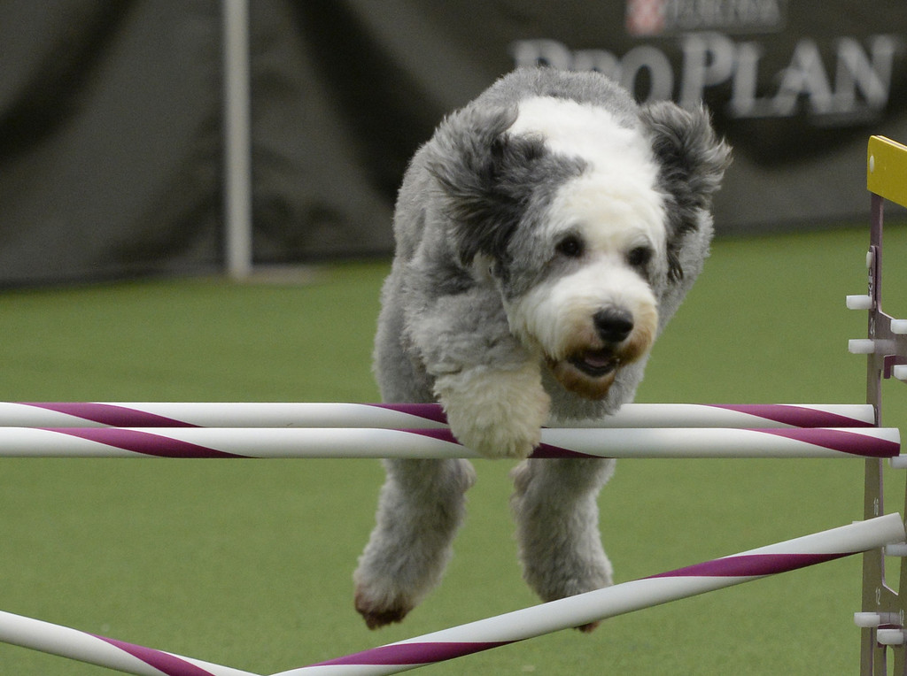 Description of . Sally, an Old English Sheepdog, in the Agility Ring during the first-ever Masters Agility Championship on February 7, 2014 in New York at the 138th Annual Westminster Kennel Club Dog Show. Dogs entered in the agility trial will be on hand to demonstrate skills required to negotiate some of the challenging obstacles that they will need to negotiate.      TIMOTHY A. CLARY/AFP/Getty Images