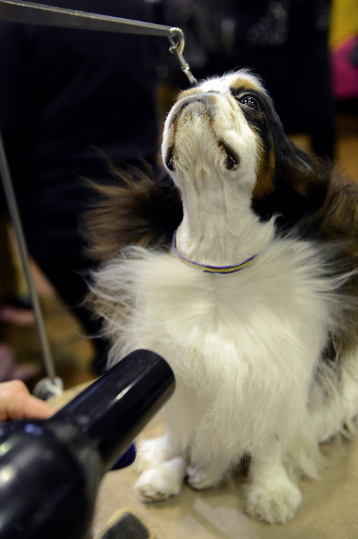 Description of . Pari, an English Toy Spaniel, gets a blow dry before judging at the Westminster Kennel Club Dog Show February 11, 2013 in New York. STAN HONDA/AFP/Getty Images