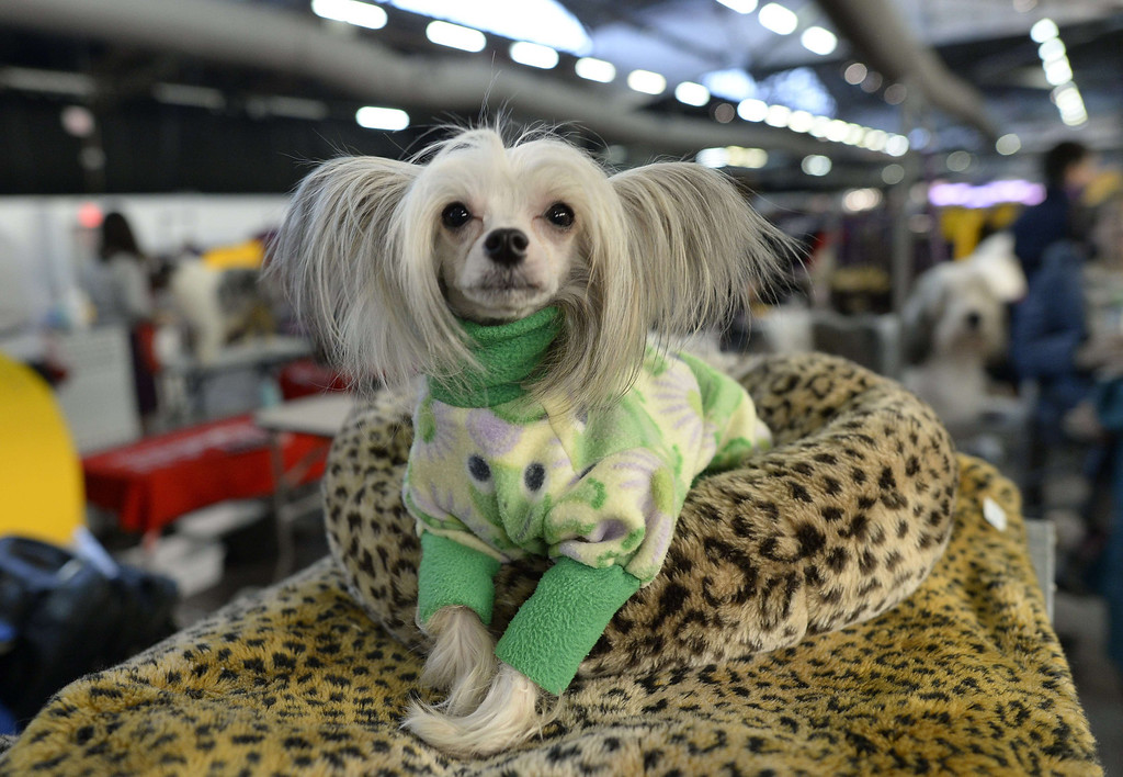 Description of . A Chinese Crested waits in the benching area at  Pier 92 and 94 in New York City  for the first day of competition at the 138th Annual Westminster Kennel Club Dog Show February 10, 2014. The Westminster Kennel Club Dog Show is a two-day, all-breed show that takes place at both Pier 92 and 94 and at Madison Square Garden in New York City.    TIMOTHY CLARY/AFP/Getty Images