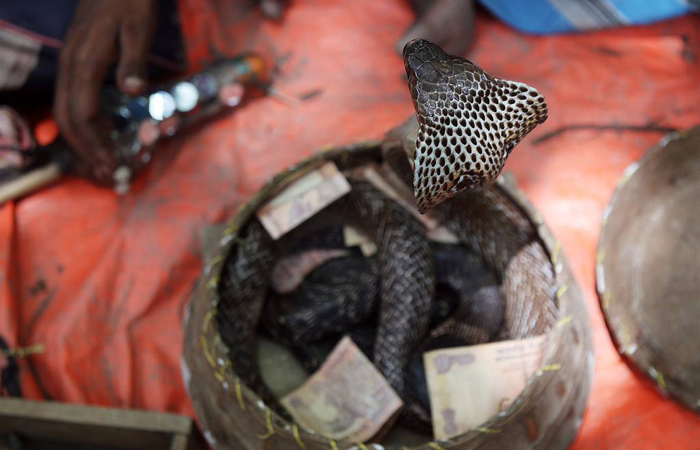 Description of . An Indian snake charmer performs with a 'gokhra' - cobra - in a basket for passers by at a snake fair at Purba Bishnupur village, around 85 kms north of Kolkata on August 17, 2013.  Hundreds of people queued in a remote village in eastern India over the weekend to receive blessings from meters-long and potentially deadly snakes, thought to bring them good luck.   DIBYANGSHU SARKAR/AFP/Getty Images