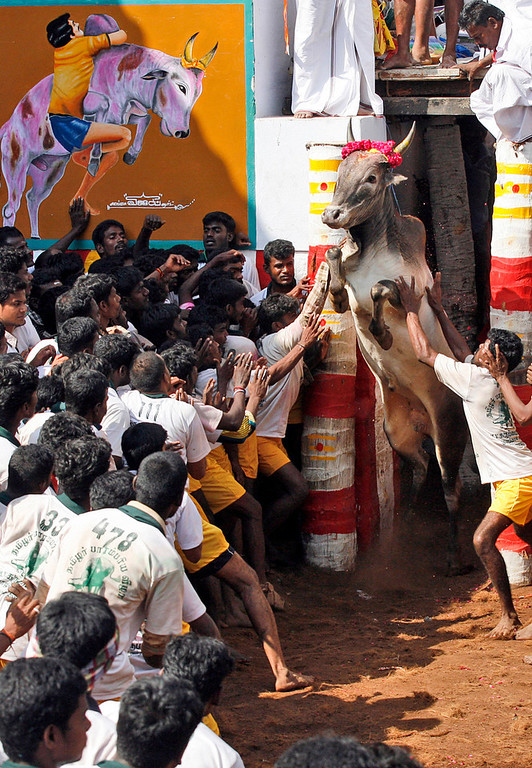 Description of . A bull charges out from an enclosure during the bull-taming sport, called Jallikattu, in Alanganallur, about 530 kilometers (331 miles) south of Chennai, India, Wednesday, Jan. 16, 2013. Jallikattu is an ancient heroic sporting event of the Tamils played during the harvest festival of Pongal. (AP Photo/Arun Sankar K.)