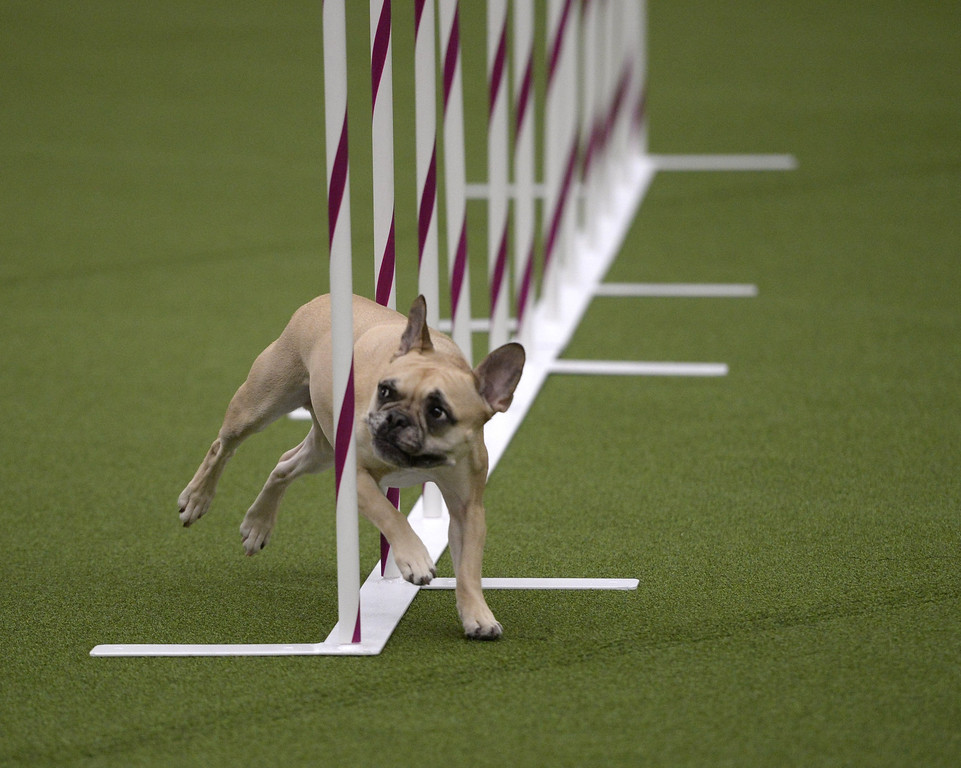 Description of . A dog competes in the Agility Ring during the First-ever Masters Agility Championship on February 8, 2014 in New York at the 138th Annual Westminster Kennel Club Dog Show. Dogs entered in the Agility trial will be on hand to demonstrate skills required to negotiate some of the challenging obstacles that they will need to negotiate.     TIMOTHY A. CLARY/AFP/Getty Images