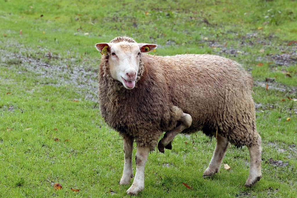 Description of . A picture taken on November 5, 2013 in Condeon shows a five-leg female sheep that the owner tries to sell on the internet.      AFP PHOTO/ NICOLAS TUCAT/AFP/Getty Images
