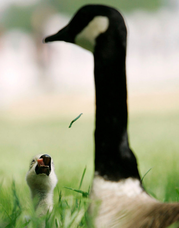 Description of . A baby Canada goose plays with a blade of grass under the watchful eye of his parent  along The National Mall in Washington. (AP Photo/Haraz N. Ghanbari)